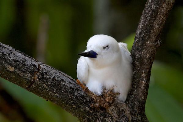 Common white tern