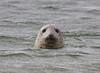 Spættede sæl, Spotted seal, Koresand, Mandø, Danmark, Sep 2012
