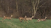 Roe deer, Rådyr, Capreolus capreolus, Rudersdal, Danmark, Apr-2012