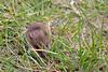 Yellownecked mouse, Apodemus flavicollis, Halsbåndmus, Rudersdal, Danmark, Sep-2011