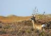 Roe deer, Rådyr, Capreolus capreolus, Asserbo, Danmark, Oct-2011